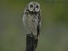 Velduil, short-eared Owl, Asio flammeus