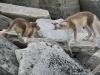 Poolvos, Arctic fox, Alopex lagopus