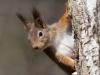 Eekhoorn, Red squirrel, Sciuris vulgaris