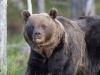 Bruine beer, Brown bear, Ursus arctos