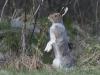 Sneeuwhaas, Mountain hare, Lepus timidus