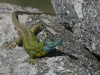 Iberische smaragdhagedis, Schreiberi's green lizard, Lacerta schreiberi