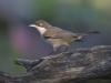 Orpheusgrasmus, Orphean Warbler, Sylvia hortensis
