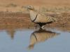 Zwartbuikzandhoen, Black-bellied Sandgrouse, Pterocles orientalis