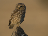 Steenuil, Little Owl, Athene noctua