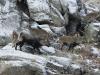 Iberische steenbok, Spanish ibex, Capra pyrenaica