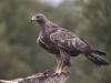 Steenarend, Golde Eagle, Aquila chrysaetos