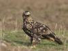 Keizerarend, Imperial Eagle, Aquila heliaca