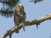 Ruigpootuil, Tengmalm's Owl, Aegollius funereus