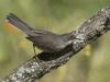 Kleine Zwartkop ♀, Sardinian Warbler, Sylvia melanocephala. Extramedura, Spanje