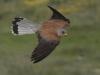 Kleine Torenvalk, Lesser Kestrel, Falco naumani.  Extremadura, Spanje