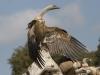 Vale Gier, Griffon vulture, Gyos fulvus. Extremadura, Spanje
