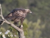 Steenarend, Golden Eagle, Aquila chrysaetos. Extremadura, Spanje
