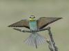 Bijeneter, Eurepean Bee-eater, Merops apiaster