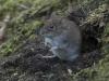 Rosse woelmuis, Bank vole, Myodes glareolus