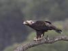 Spaanse Keizerarend, Imperial Eagle, Aquila heliaca adelberti