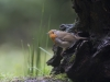 Roodborst, Robin, Erithacus rubercula