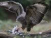 Buizerd, Common Buzzard, Buteo buteo