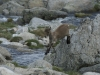 Iberische Steenbok, Spanish Ibex, Capara pyrenaica