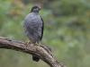 Sperwer,Sparrowhawk, Accipiter nisus