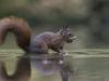 Eekhoorn, Red Squirrel, Sciurus vulgaris