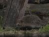 Egel, Western Hedgehog, Erinaceus europaeus