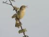 _Rietzanger, Sedge Warbler, Acrocephalusschoenobaemus