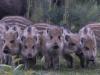 Wild zwijn, Wild boar, Sus scrofa