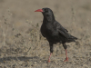 Alpenkraai, Red-billed Chough, Pyrrhocorax pyrrhocorax