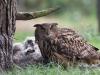 Oehoe, Eagle Owl, Bubo bubo