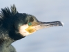 Aalscholver, Shag, Phalacrocorax carbo