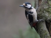 Grote Bonte Specht, Great Spotted Woodpecker, Dendrocopos major