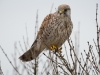 Torenvalk, Common Kestrel, Falco tinnunculus