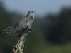 Koekoek, Common Cuckoo, Cuculus canorus