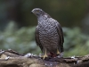Havik, Northern Goshawk, Accipiter gentilis