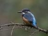 IJsvogel, Common Kingfisher, Alcedo atthis