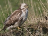 Buizerd, Common Buzzard, Buteo buteo