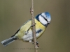 Pimpelmees, Blue Tit, Parus caeruleus