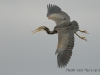 Purperreiger, Purple Heron, Ardea purpurea