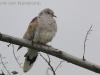 Zomertortel, Tûrtle Dove, Streptopelia turtur