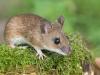 Grote Bosmuis, Yellow-necked Mouse, Apodemus flavicollis