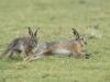 Haas, Brown Hare, Lepus europaeus