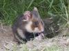 Hamster of Korenwolf, Hamster, Cricetus cricetus