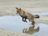Vos, Red Fox, Vulpes vulpes